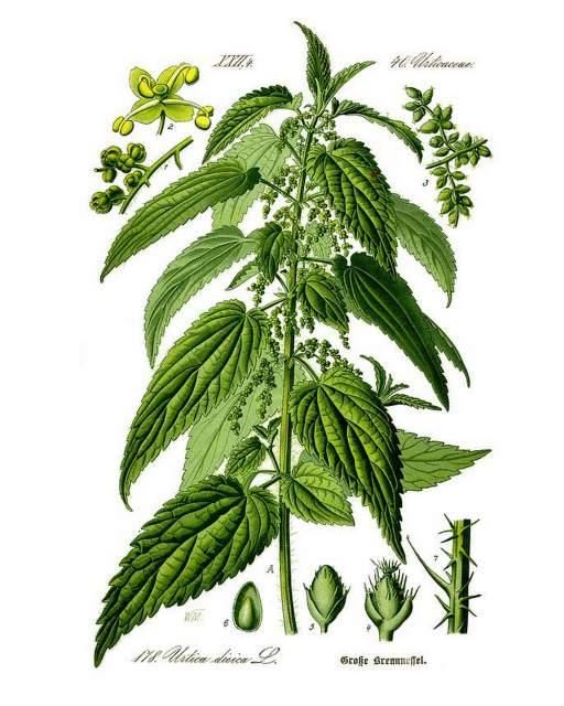 Brennnessel Heilpflanze Naturmedizin