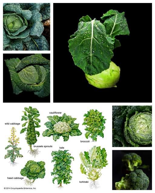 Gemuesekohl Sorten Heilpflanzen Antibiotikum