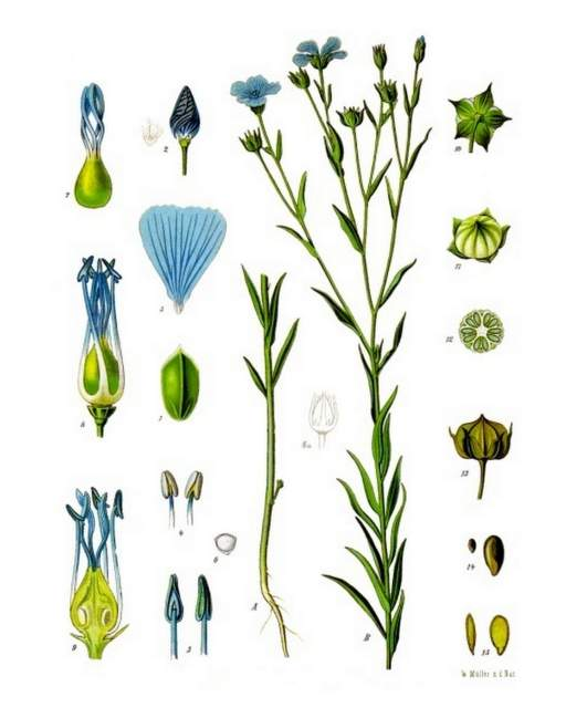 Lein historische Zeichnung (Köhler–s_Medizinal-Pflanzen)