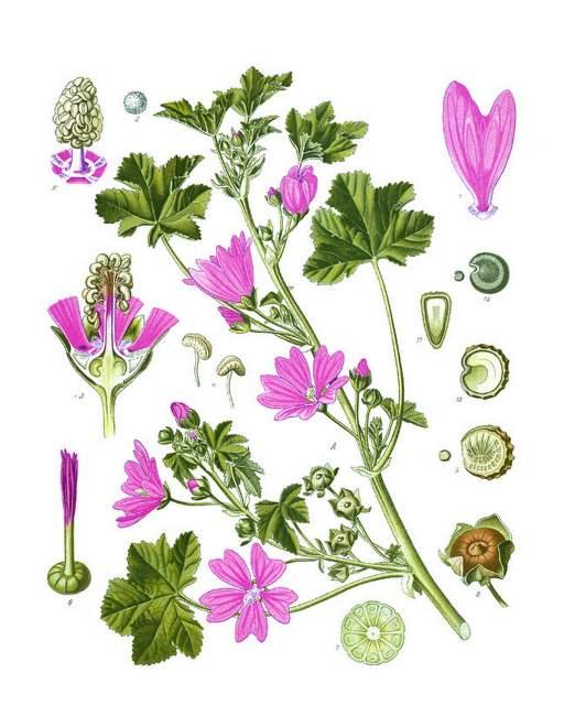 historische Zeichnung Bestandteile der Malve, Heilpflanzen