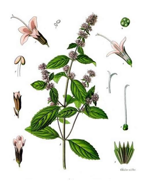 Pfefferminze Mentha_×_piperita_-_Koehler–s_Medizinal-Pflanzen-095
