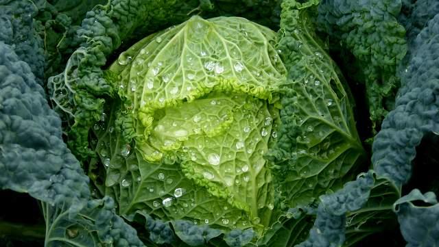 Gemüsekohl (Brassica oleracea)