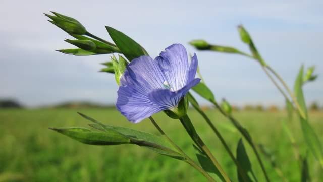 Lein linum-usitatissimum Blüte Vorschau