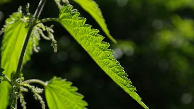 Brennnessel Heilpflanzen Naturmedizin