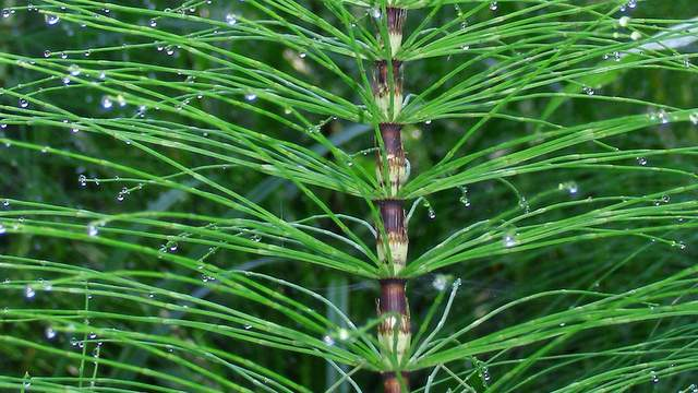 Ackerschachtelhamlm-horsetail-Vorschau