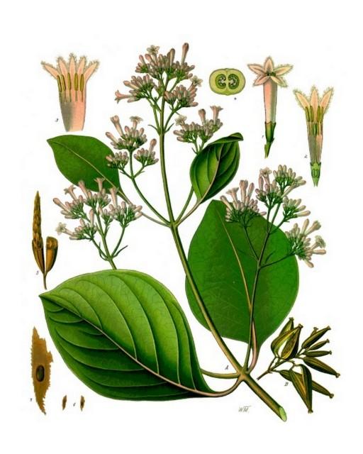 Chinarindenbaum Cinchona_pubescens-Koehlers_Medizinal-Pflanzen-161