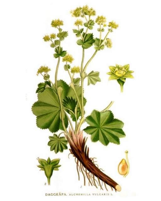 Frauenmantel Heilpflanzen