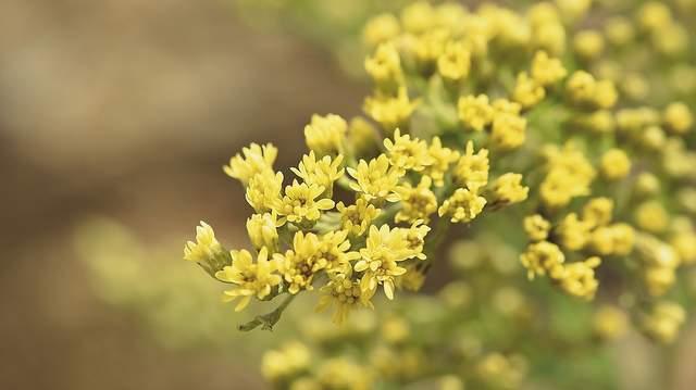 Goldrute Hellpflanzen Vorschau