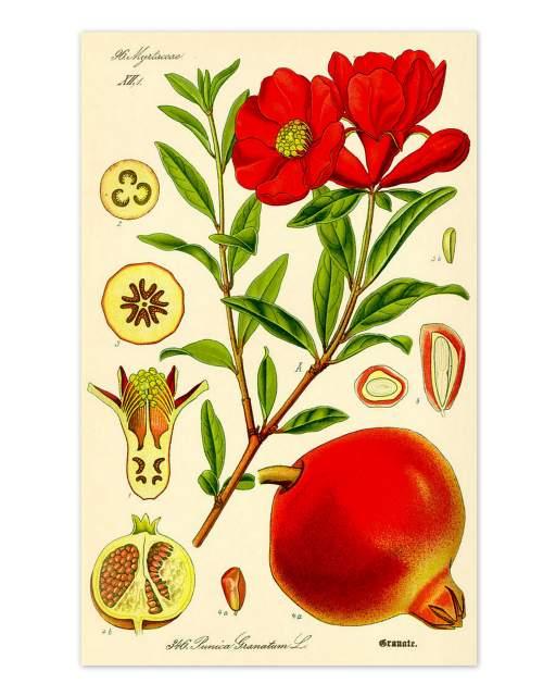 hist Illustration Granatapfel Prof. Dr. Otto Wilhelm Thome Flora von Deutschland