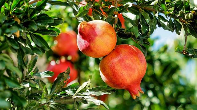 Granatapfel pomegranate-Vorschau