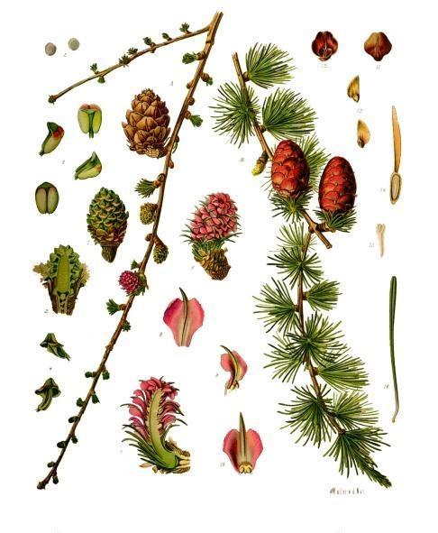 Larix_decidua_-_Koehler–s_Medizinal-Pflanzen-216