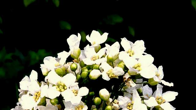 Meerettich Blüte