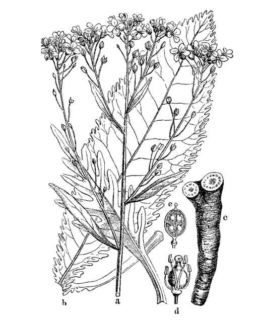 Meerettich Illustration Martin Cilenšek - Scan from Naše škodljive rastline (1892) Slika 189. Navadni hren. (Armorácia rusticána.)