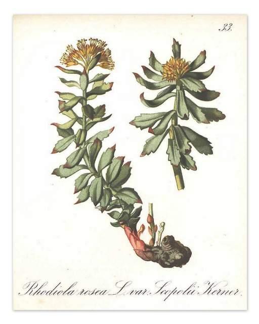 Rosenwurz Heilpflanzen