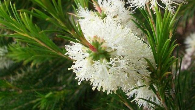 Teebaum Zweig und Bluete-Vorschau