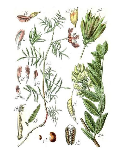 Tragant-Deutschlands Flora in Abbildungen 1796
