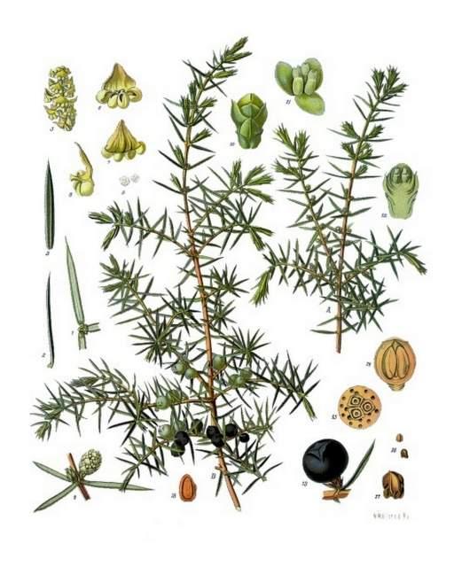 Wacholder-Juniperus_communis_-_Koehler–s_Medizinal-Pflanzen-082
