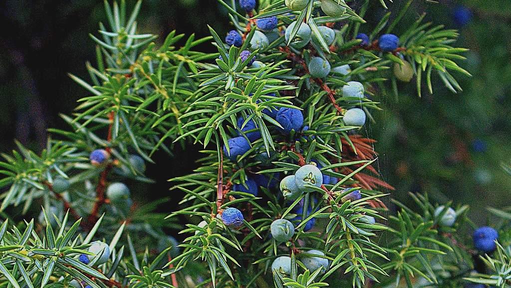 Wacholder, Gemeiner (Juniperus communis L.)