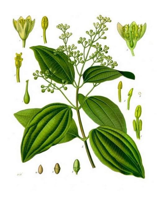 Historische Zeichnung Cinnamomum_verum_-_Köhler–s_Medizinal-Pflanzen