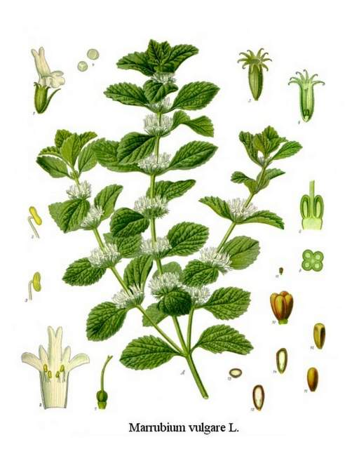 hist. Zeichnung Andorn aus Marrubium_vulgare_-_Köhlers_Medizinal-Pflanzen-224