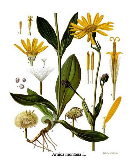 Arnica_montana_-_Koehlers_Medizinal-Pflanzen-015