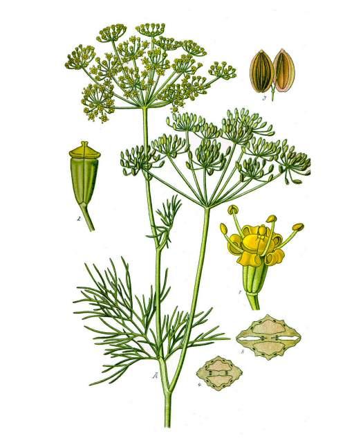 Dill, hist Abbildung, Prof. Dr. Otto Wilhelm Thomé ''Flora von Deutschland, Österreich und der Schweiz'' 1885
