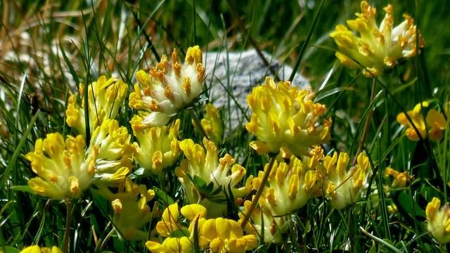 Echter Wundklee Blüten