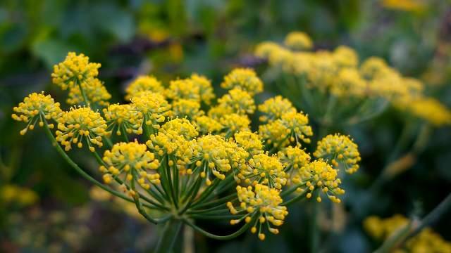 Fenchel Blüte Vorschau