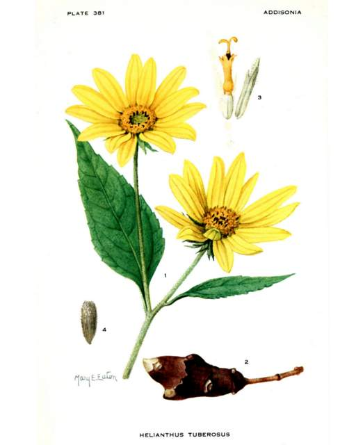 Helianthus tuberosus Addisonia, vol. 11 t. 381 (1926) [M.E. Eaton]