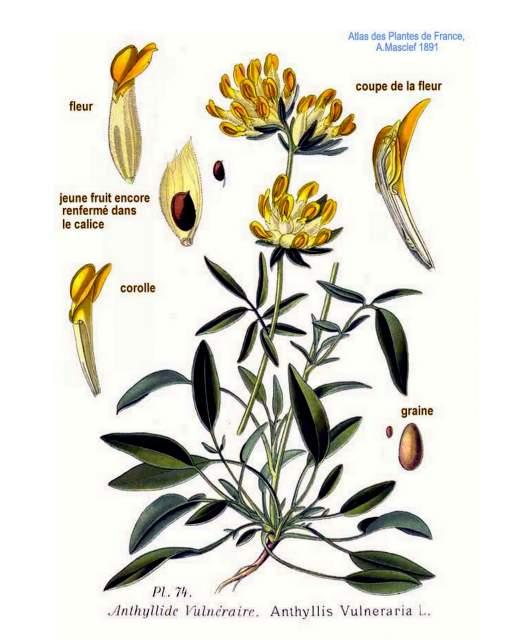 Wundklee_Anthyllis_vulneraria_Amedee Masclef-Atlas des plantes de France-1891