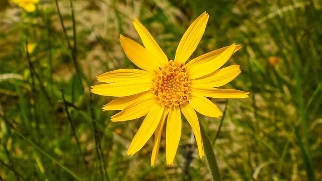 Arnika, Echte (Arnica montana L.)