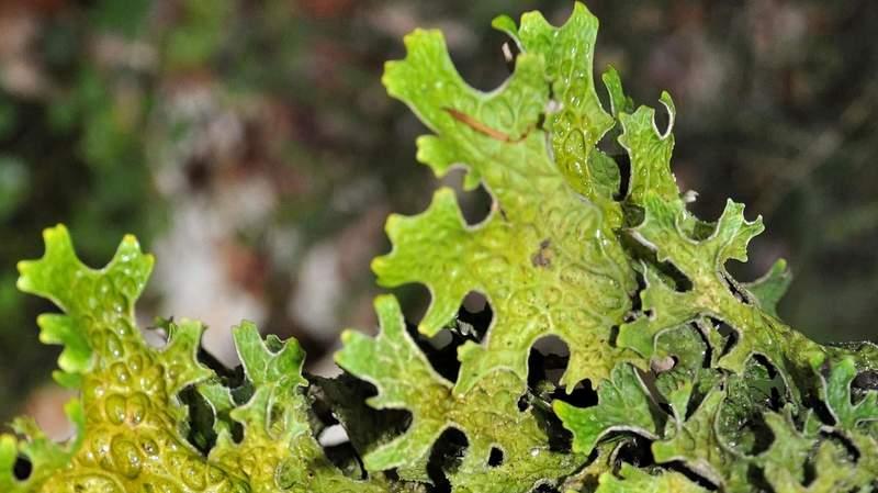 Isländisches Moos (Cetraria islandica L., Ach.)