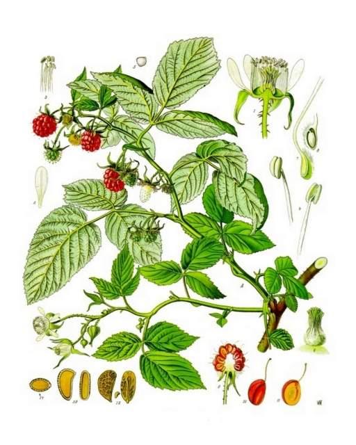 Himbeere-Rubus_idaeus_-_Koehlers_Medizinal-Pflanzen-124