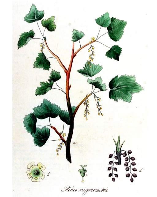 Johannisbeere schwarze Ribes_nigrum_Flora_Batava_Volume