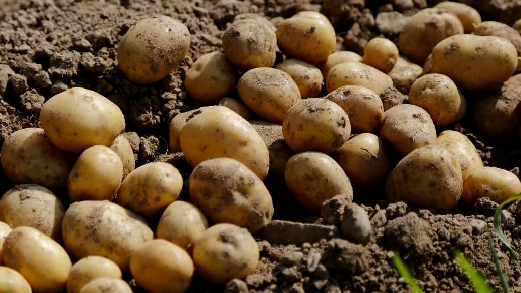 Kartoffel (Solanum tuberosum L.)