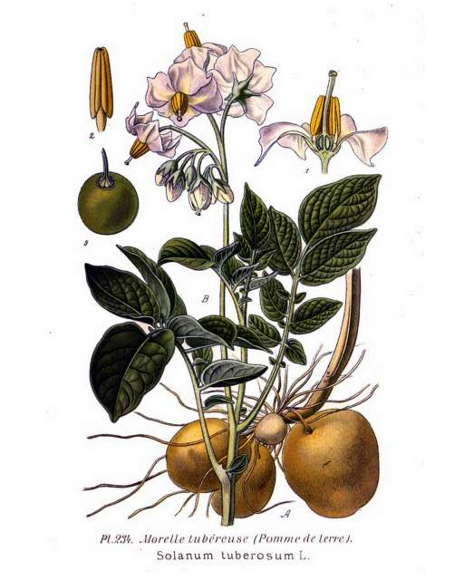 historische Abbildung Kartoffel_Solanum_tuberosum-Masclef-Atlas des plantes de France-1891