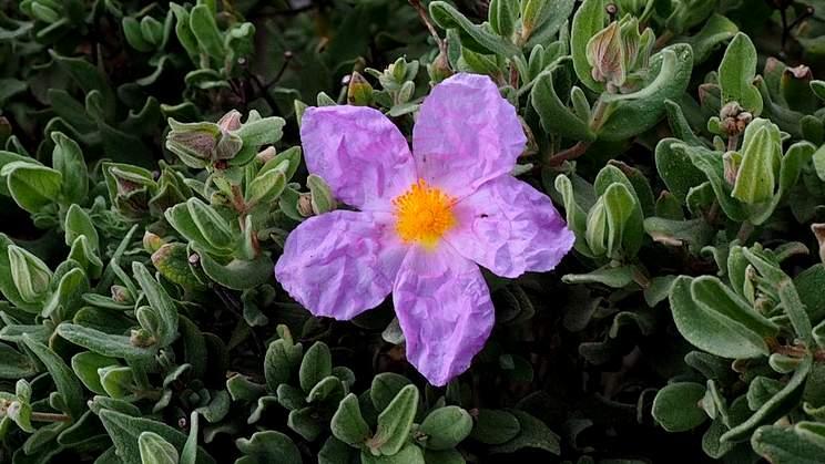 Zistrose, Kretische (Cistus creticus L. ssp. creticus)