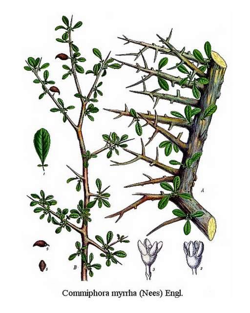 Historische Abbildung: Myrrhe
