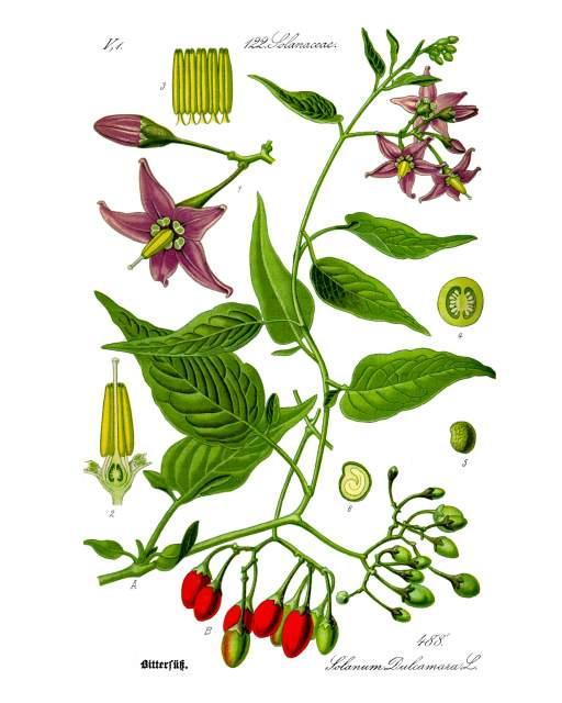 Nachtschatten-Illustration_Solanum_dulcamara
