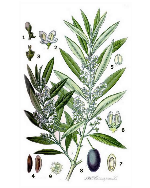 Olea europaea – Illustration aus Koehler Medicinalpflanzen von 1887