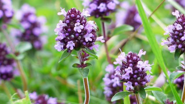 Quendel (Thymus serpyllum L.)