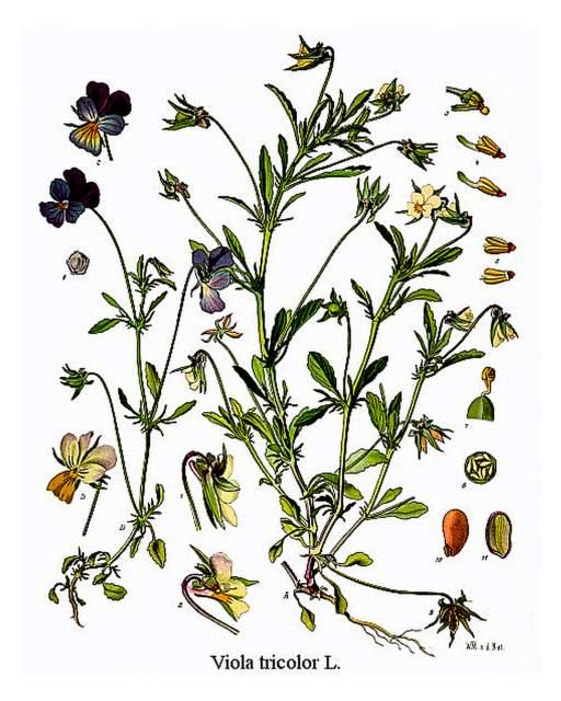 hist. Abbildung Viola tricolor
