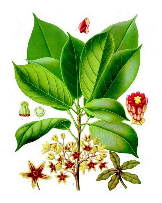 Cola-Cola_acuminata_Koehlers_Medizinal-Pflanzen-183
