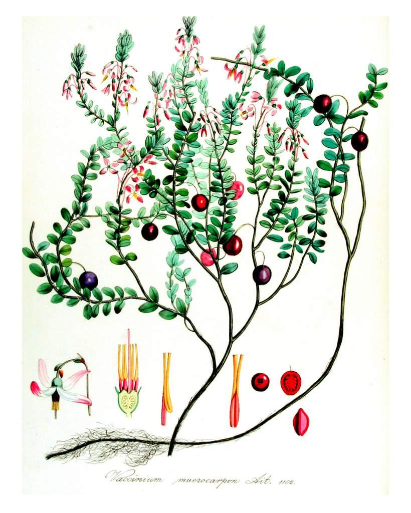Cranberries hist Abbildung