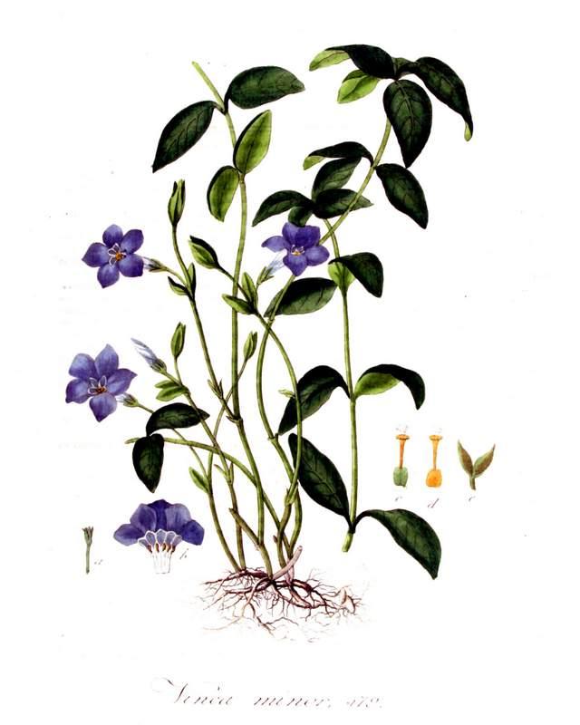 Histprische Abbildung aus Jan Kops Flora Batava