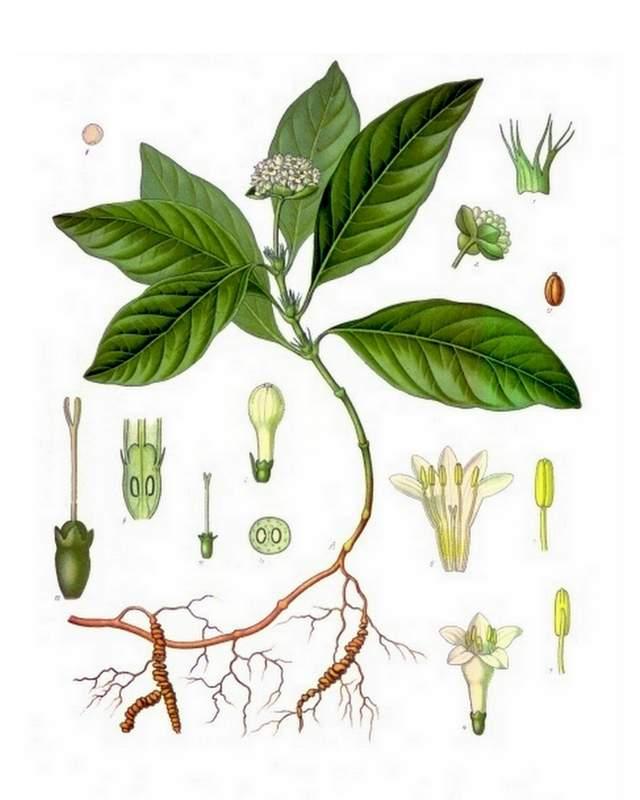 Ipecacuanha-Brechwurzel-Koehlers Medizinal-Pflanzen-251