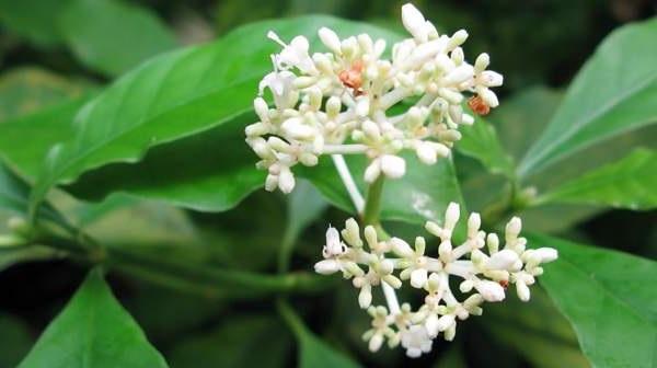 Ipecacuanha (Carapichea ipecacuanha (Brot.) L. Andersson)