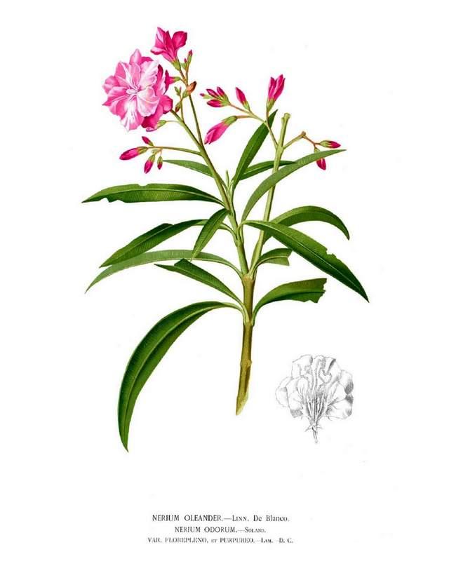 hsitorische Abbildung: Oleander