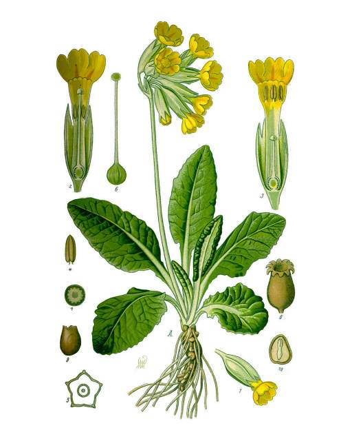 Schlüsselblume Illustration_Primula_veris