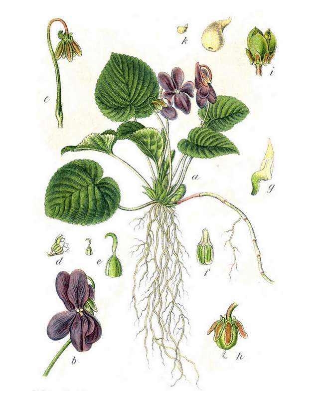 "Viola odorata in: Jacob Sturm: ""Deutschlands Flora in Abbildungen"" (1796)"